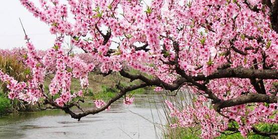 【尚城国际】浪漫桃花节踏青之旅即将出发!